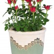 Blossoming rose plant in flowerpot - ストック写真