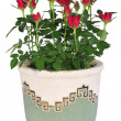 Blossoming rose plant in flowerpot - Photo