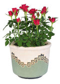 Blossoming rose plant in flowerpot — Стоковое фото