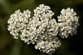 Milfoil — Stock Photo