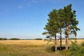 Pine-trees — Stock Photo