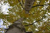 Yellow foliage — Stock Photo