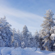 Evergreen fur trees - Stockfoto
