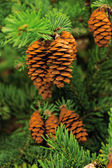 Cone of conifer tree — Stock Photo