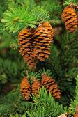Cone of conifer tree — Stock Photo