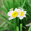 Tender narcissuses — Stock Photo