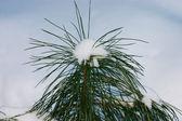 Pequeño árbol de abeto — Foto de Stock