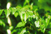 Bright green juicy leaves — Stock Photo