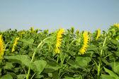 Rijp heldere zonnebloemen groeiende — Stockfoto