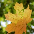 Stock Photo: Yellow withering maple leaf
