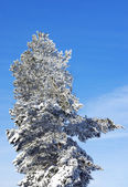 Evergreen pine covered by a snow — Stock Photo