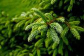 Grüne stachelige zweige — Stockfoto