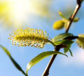 Blooming willow tree. — Stock Photo