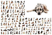 Group of dogs and dalmatian — Stock Photo