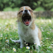 Yawning puppy chihuahua — Stock Photo