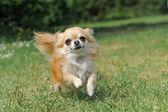 Running chihuahua — Stock Photo