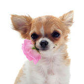 Puppy chihuahua and flower — Stock Photo