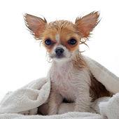 Wet puppy chihuahua — Stock Photo