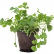Cilantro in pot isolated — Stock Photo
