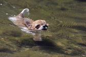 Swimming chihuahua — Stock Photo