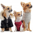 Five chihuahuas — Stock Photo #5803061