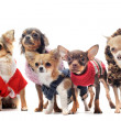 Five chihuahuas — Stock Photo