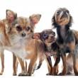 Five chihuahuas — Stock Photo