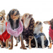 Five chihuahuas — Stock Photo #5878215