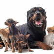 Rottweiler and chihuahuas — Stock Photo #5878226