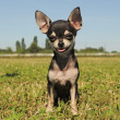 Puppy chihuahua — Stock Photo #5985935