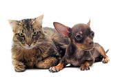 Puppy chihuahua and cat — Stock Photo