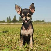 Köpek chihuahua — Stok fotoğraf