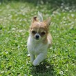 Running puppy chihuahua — Stock Photo