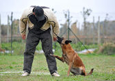 Malinois and man in attack — Stock Photo