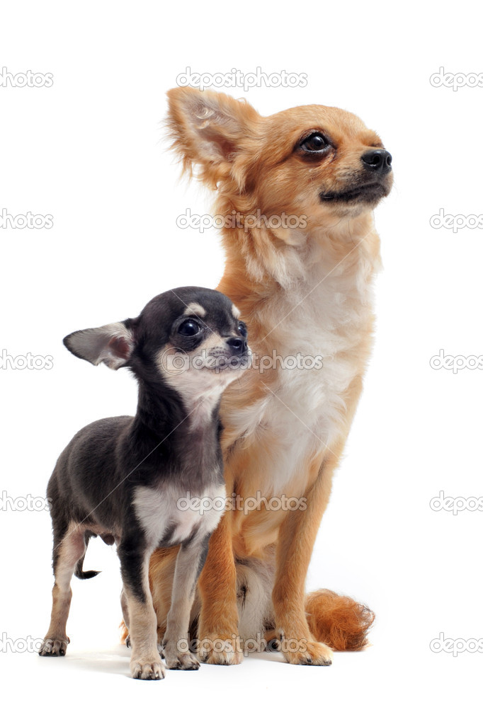 depositphotos 6064122 Puppy and adult chihuahua Tired of looking pro a REAL AMATEUR WEBSITE so as en route for updates all ...