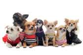 Seven chihuahuas — Stock Photo