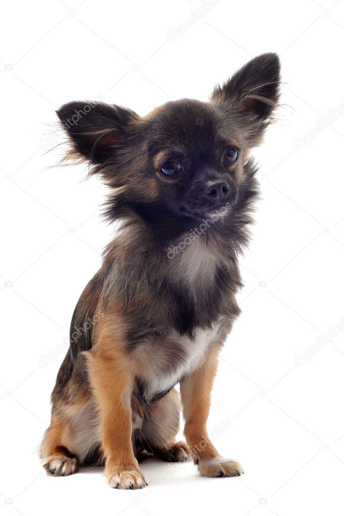 Portrait of a cute purebred  brown chihuahua in front of white background — Stock Photo #6163628