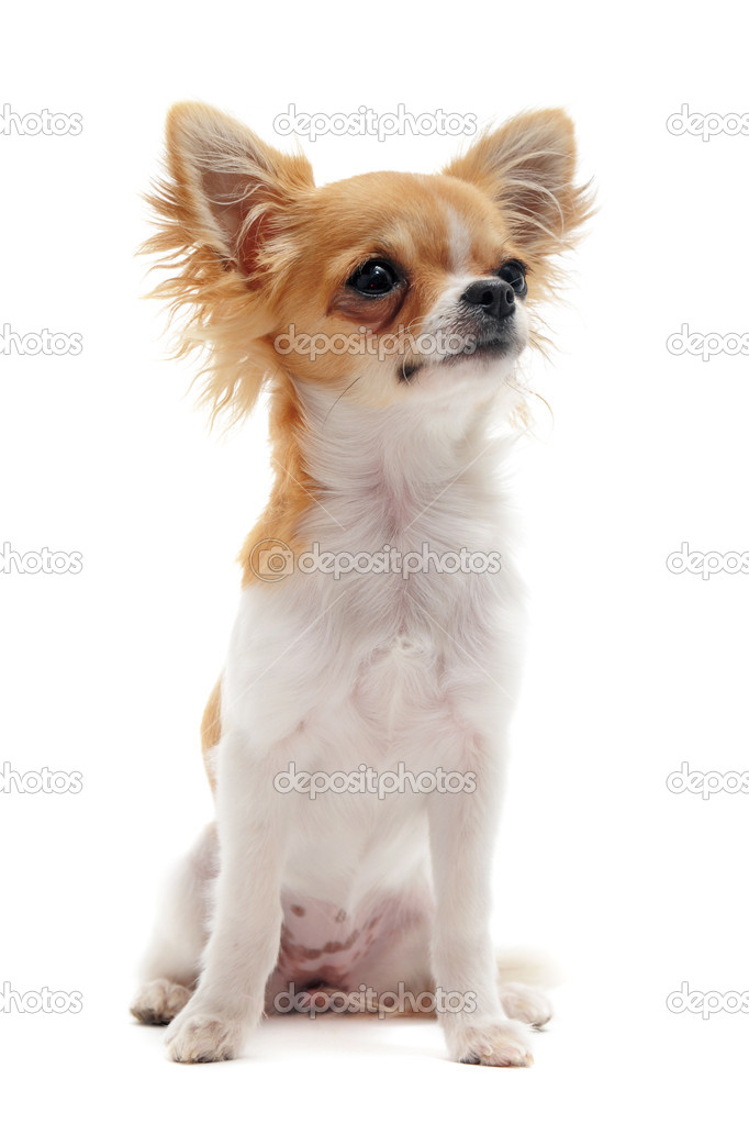 Portrait of a cute purebred young chihuahua in front of white background — Stock Photo #6274834
