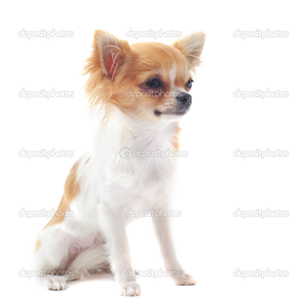 可爱的纯种小狗吉娃娃在白色背景前的肖像