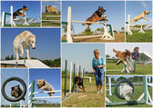 Composite picture with purebred dogs in training of agility — Stock Photo