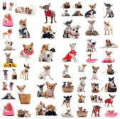 Chihuahuas — Stock Photo