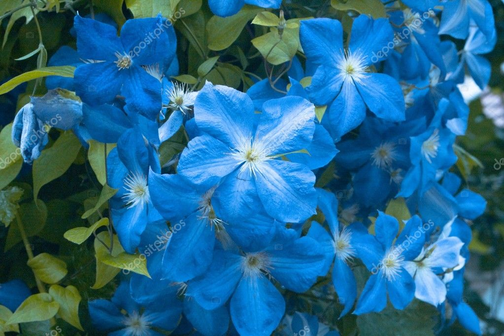 Blue flower in garden — Stock Photo #5868264