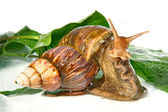 The East African snail — Stock Photo