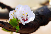 Cherry blossom with beautiful natural background. — Stock Photo