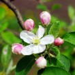 Apple flowers close-up. — Stock Photo