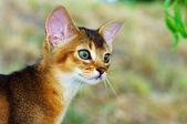 Little cat of abyssinian over green grass background — Stock Photo