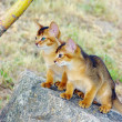Little cats of abyssinian over green grass background — Stock Photo