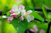 Blossoming apple garden in spring — Stock Photo