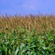 Corn field over cloudy blue sky — Stock Photo