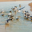 Seagulls — Stock Photo #5559937